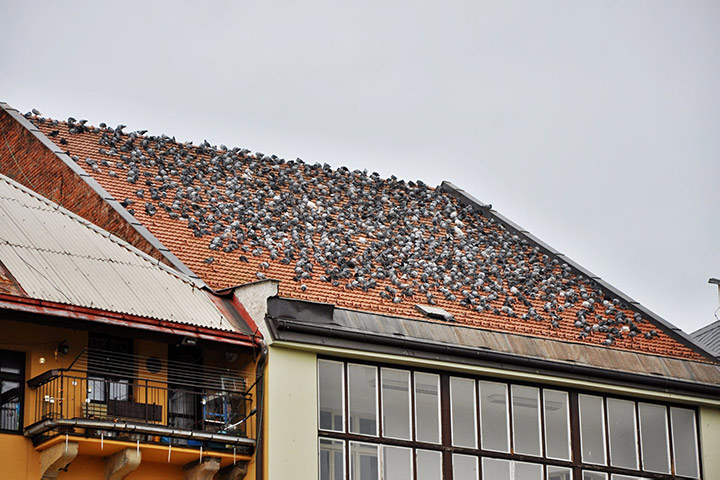 A2B Pest Control are able to install spikes to deter birds from roofs in Golders Green.